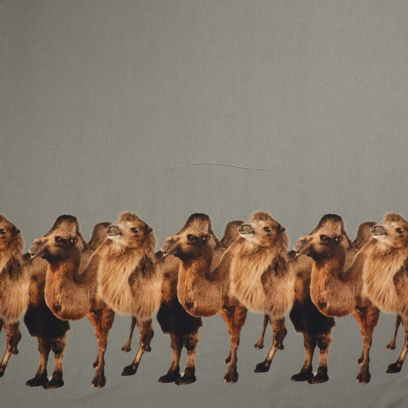 Kameler - Jersey -
